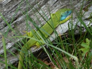 Na pastvinác,h u kríkoch žili jašterice zelené ( Lacerta viridis ), samec, 08.05.201.