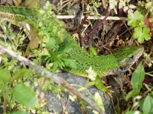 U cesty na hrad žili jašterice zelené ( Lacerta viridis ), samička.