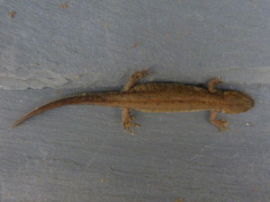 Mlok dunajský ( Triturus dobrogicus ),asi samec, Szabadszálás.