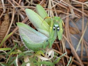 Obranný postoj kudlanky nábožnej ( Mantis religiosa ) s imitáciou očí.