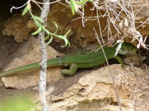 Jedina jašterice na 28 kilometroch, samec jašterice zelenej ( Lacerta viridis ).
