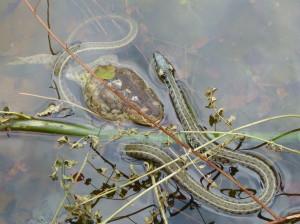 Užovka obojková ( Natrix natrix persa ) vo zbytku vody, kde sa snažila prehltnúť nafúknutú ropuchu bradavičnatú ( Bufo bufo ).