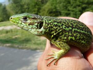 Jašterica zelená ( Lacerta viridis ) z nezvykle dlhým chvostom, samička.