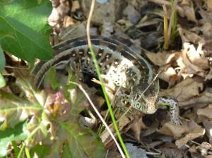 Samička jašterice krátkohlavej ( Lacerta agilis ).