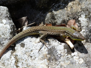 Jašterica balkánská (Podarcis melisellensis melisellensis), samec, Viter, 26.07.2017, 10:14 hod.