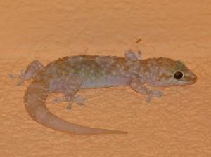 Gekon turecký ( Hemidactylus turcicus ), hotel v Podaci.