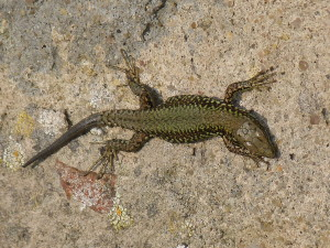 Jašterica múrová ( Podarcis muralis nigriventris ), mláďa.