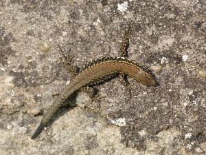 Jašterica múrová ( Podarcis muralis nigriventris ), druhé mláďa. Všetky mali ulomený chvost.