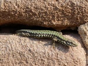 Jašterica múrová ( Podarcis muralis nigriventris ), dospelá samička.