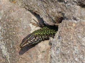 Jašterica múrová ( Podarcis muralis nigriventris ), dospelý samec.