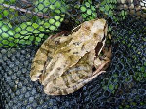 Skokan hnedý ( Rana temporaria ), koryto potoka Olvár v lese.