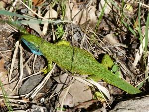 Jašterica zelená ( Lacerta viridis ), samec, vinohrady, Ip. Predmostie.