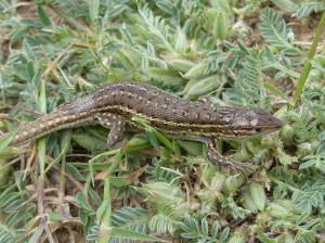 Iný samec, majú výrazne rozšírený chvost u kloaky.