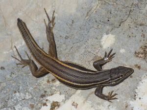 Psammodromus algirus, mladý samec. Hory nad Puebla d. d. F., 23.05.2019.