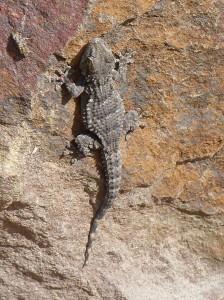 Na odpočívadle u Ayamonte sedel na každom kameni gekon múrový (Tarentola mauritanica), 25.05.2019, 09:00 hod.
