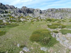 Lokality Iberolacert, terén východne sochy Nossa senhora da Boa Estrela, 1840-1865 m.n.m., našiel som ich pri balvanoch a kríkoch, mláďatá pod kameňmi, 27.05.2019, 17:34 hod.