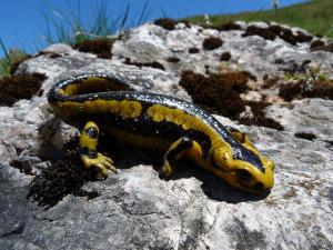 Salamandra salamandra bernardezi, Púerto de la Cubilla, 29.05.2019, 13:38 hod.