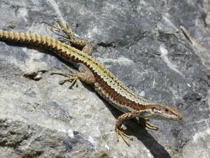 Samec Iberolacerta horvathi, na dvore kasární.