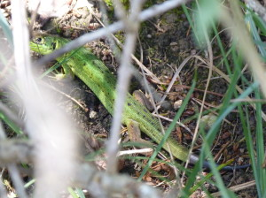 Jašterica zelená ( Lacerta bilineata ), mladá samička, Hirschau.