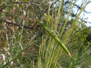 Modlivka nábožná ( Mantis religiosa ).