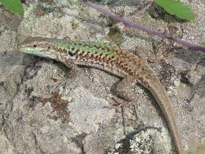 Jašterica ruinová ( Podarcis siculus siculus ), samička.