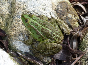Pravdepodobne skokan zelený (  Pelophylax kl. esculentus), dospelý.