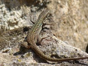 Jašterica ruinová ( Podarcis siculus siculus ), samička, ostrov Panarea.