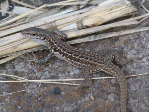 Jašterica ruinová ( Podarcis siculus siculus ), mladá samička, Stromboli.
