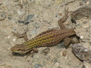 Jašterica ruinová ( Podarcis siculus siculus ), samička, Patti.