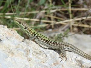 Jašterica ruinová ( Podarcis siculus siculus ), samička, normálne sfarbená medzi jednofarebnými, okraj mesta, Siracusi.