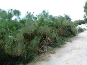 Rastlina papyrus, vedľa bola dielňa na výrobu papiera, Siracusi.