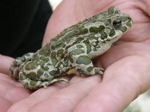 ...ropucha zelená ( Pseudepidalea viridis )...