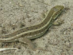 ...mladý samec jašterice zelenej ( Lacerta viridis ), Ócsa...