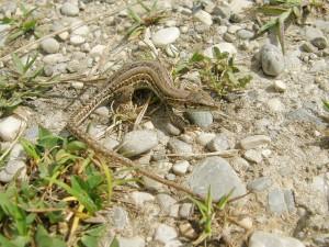 Samička jašterice sicílskej ( Podarcis siculus ).