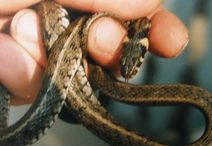 ...mladá užovka Natrix natrix persa, 04.06.1997...