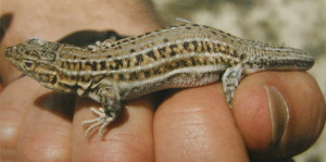 Samička Acanthodactylus erytrurus. Samičky majú hnedé pruhy výrazne svetlejšie ako samci.