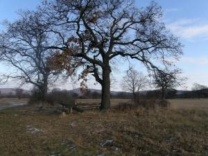 ...staré duby na pasienku na západ od Ipeľských Uľan....
