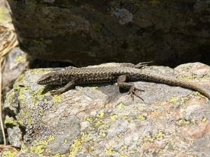 Ďalší samec jašterice múrovej ( Podarcis muralis ).