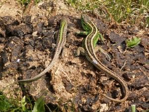 Mladý samec j. trávnej a dospelý samec j. krátkohlavej.