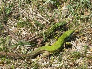 Pár jašteríc zelených, hore je samička dole samec.