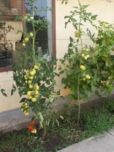 Pre niekoho úplne bežná úroda paradajok. I. Predmostie