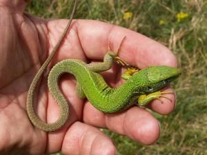 Krásny samec  jašterice zelenej (  Lacerta viridis ).
