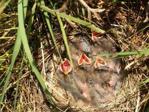 Vtáčiky v hniezde na zemi, schované v pichliačoch.