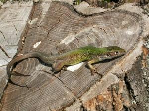 Samička jašterice zelenej ( Lacerta viridis ).