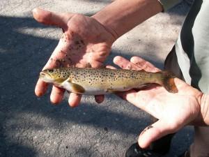 Je tu i rybník, na ktorom chytali rybári pstruhy potočné ( Salmo trutta morpha fario ).
