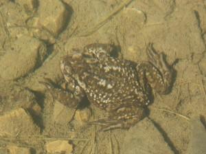 Ropucha bradavičnatá ( Bufo bufo spinosus ) z jazierka.