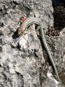 Jašterica španielska, mláďa ( Podarcis hispanicus ).