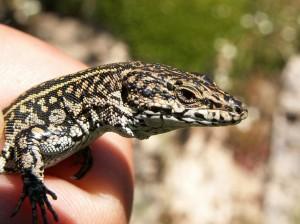 Jašterica španielska, samec ( Podarcis hispanicus ).
