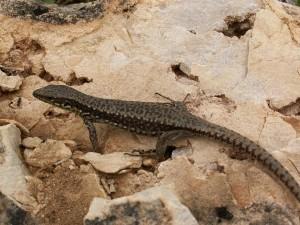 Prvá nájdená Iberolacerta monticola cantabrica pod kameňom, samička.