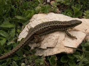 ...I. monticola cantabrica. Mali radi južne orientované svahy.